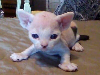 chaton de race Minskin