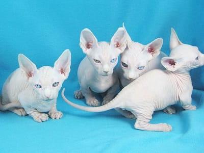 chatons de race Bambino