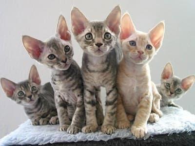 chatons de race Devon Rex