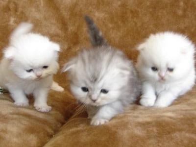 chatons de race Foldex