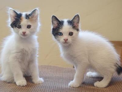 chatons de race Japanese Bobtail