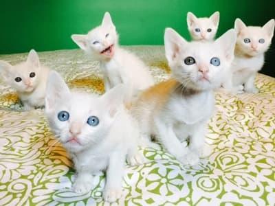 chatons de race Khao Manee