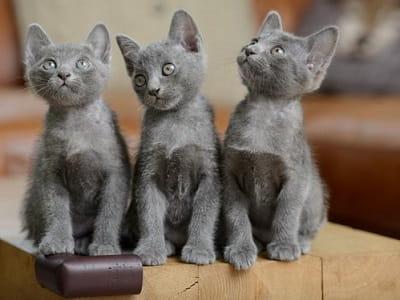 chatons de race Korat