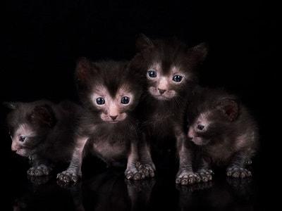 chatons de race Lykoi