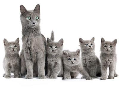 chatons de race Nebelung
