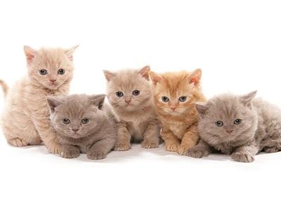 chatons de race Selkirk Rex