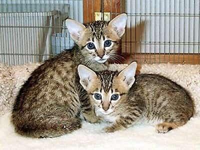 chatons de race Serengeti