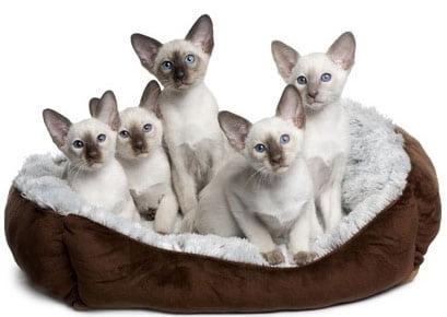 chatons de race Siamois