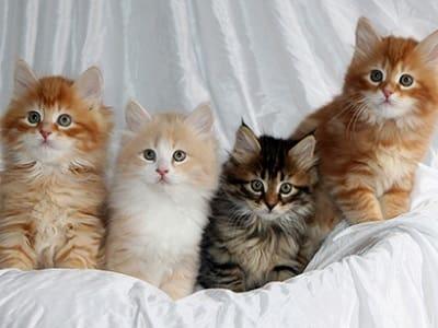 chatons de race Sibérien