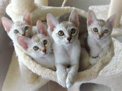 chatons de race Singapura