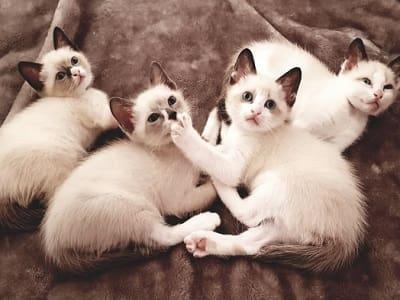 chatons de race Snowshoe