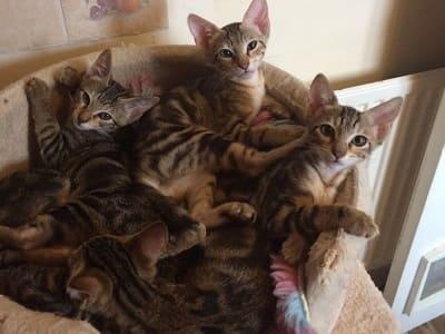chatons de race Sokoke
