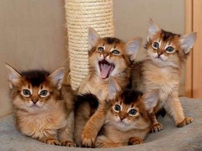 chatons de race Somali