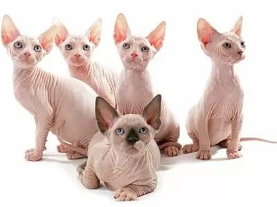 chatons de race Sphynx