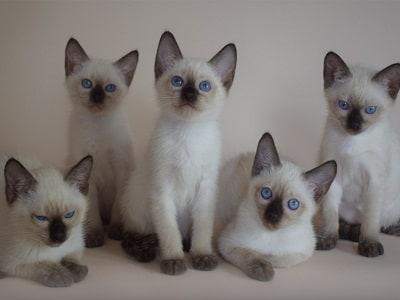 chatons de race Thaï