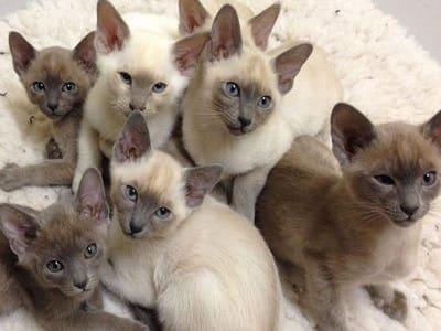 chatons de race Tonkinois
