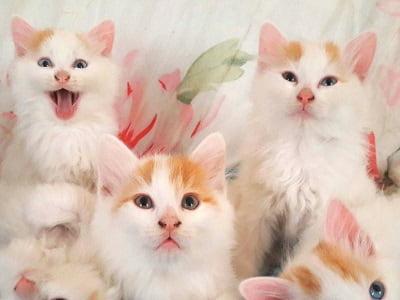 chatons de race Turc du Lac de Van