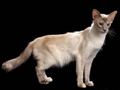 race de chat hypoallergénique Balinais
