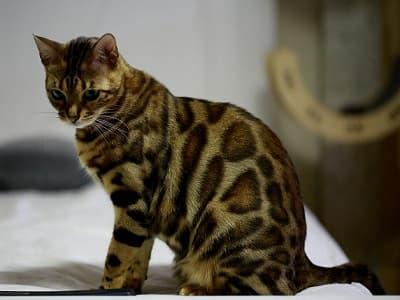 race de chat hypoallergénique Bengal