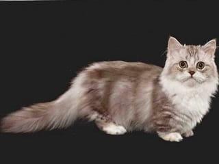 chat Minuet