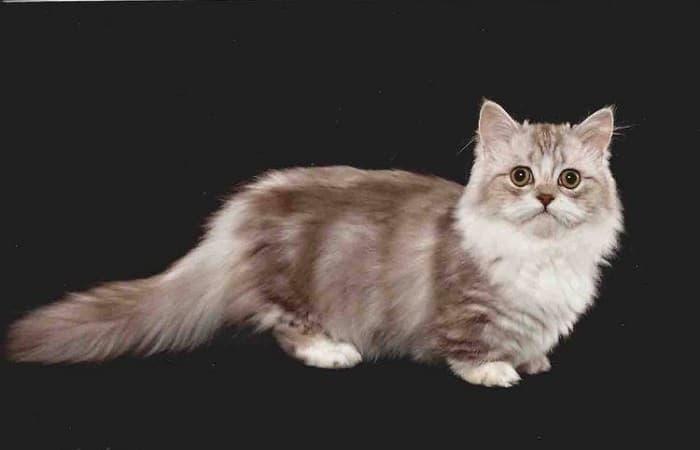 chat de race Minuet (ou Napoléon)