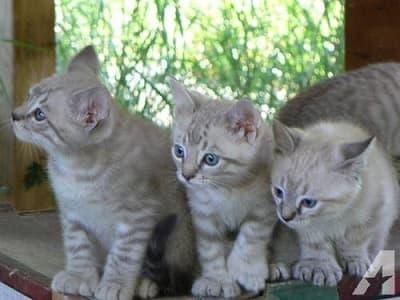 chatons de race Highland Lynx
