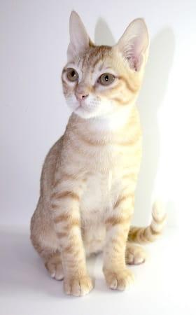 chaton de race Mau Arabe