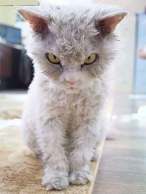 chaton de race Pudelkatze