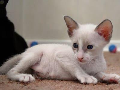 chaton de race Seychellois