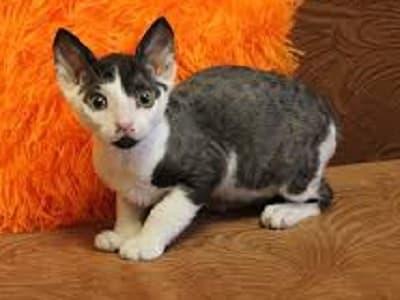 chaton de race Ural Rex