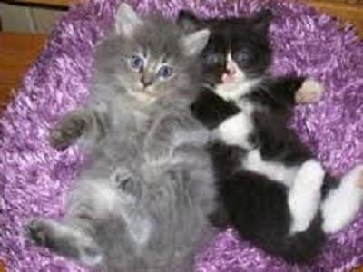 chatons de race Cymric