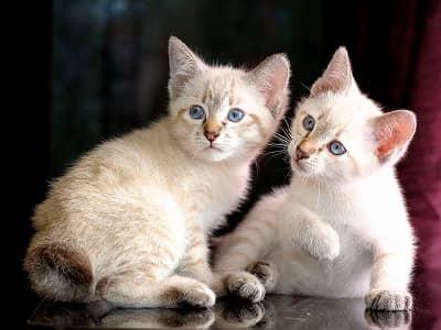 chatons de race Mekong Bobtail