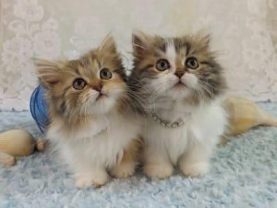 chatons de race Minuet (appelé aussi Napoléon)
