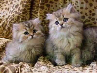 chatons de race Ragamuffin
