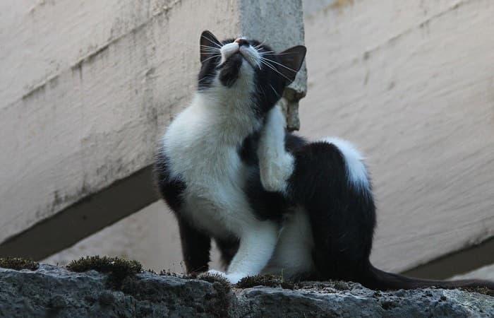 maladie - dermatomycose du chat