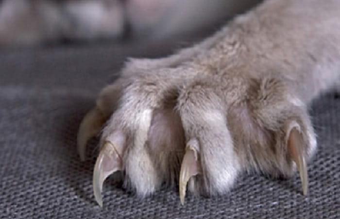 anatomie - griffes du chat