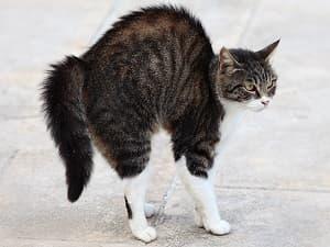 Langage corporel - Le hérissement des poils et vibrisses du chat