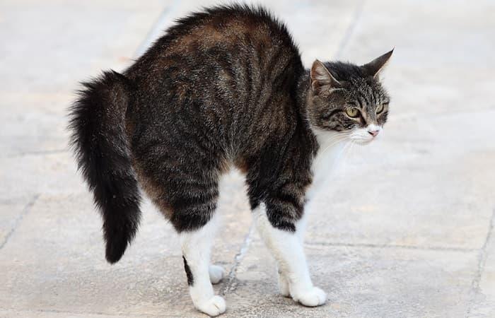 langage corporel - Hérissement des poils et vibrisses du chat