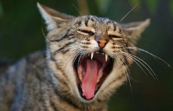 langage corporel - Miaulement du chat