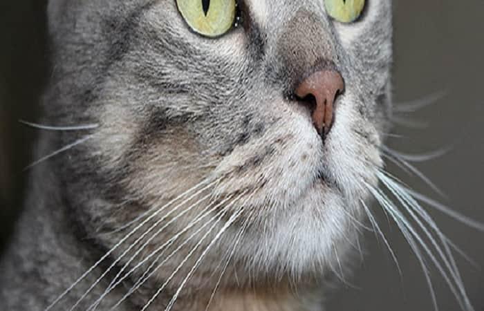 les moustaches (ou vibrisses) du chat