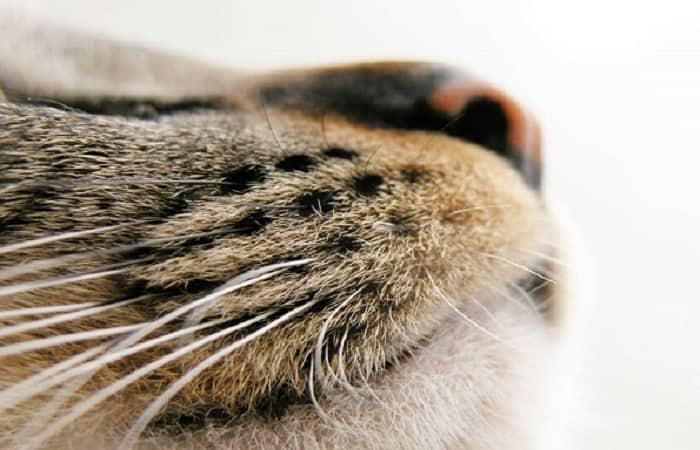 entretien - Nettoyer le nez du chat