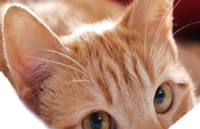 anatomie - oreilles du chat