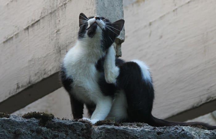 parasites du chat
