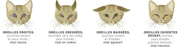 langage corporel - Interprétation de la position des oreilles du chat