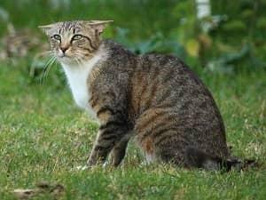 Langage corporel - Position des oreilles du chat