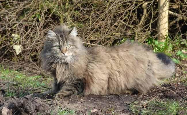 races à poils longs - chat Norvégien