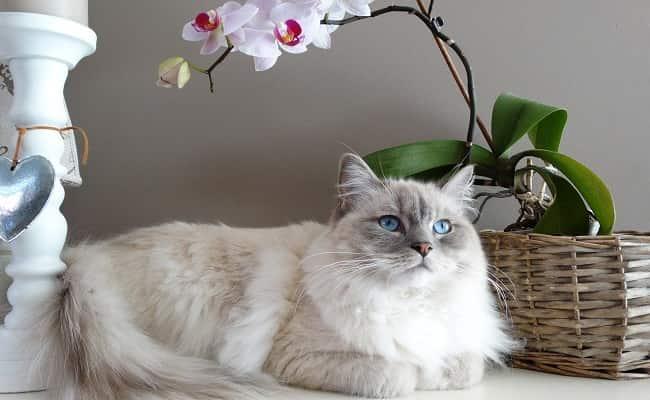 races à poils longs - chat Ragdoll