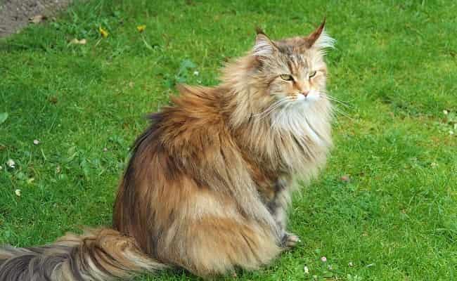 races à poils longs - chat Sibérien