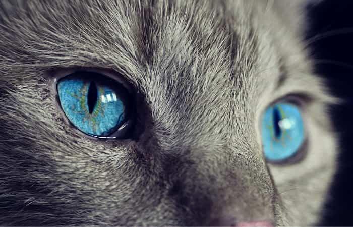 atrophie rétinienne progressive (ARP) du chat