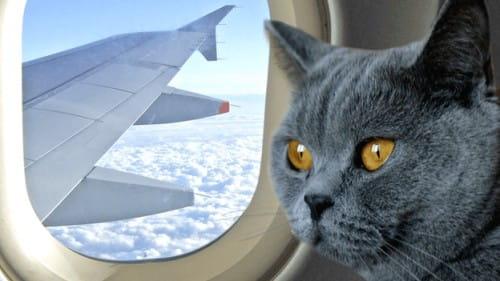 Voyager en avion avec votre animal